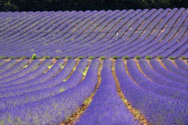 Τομείς lavender, Προβηγκία στοκ φωτογραφία