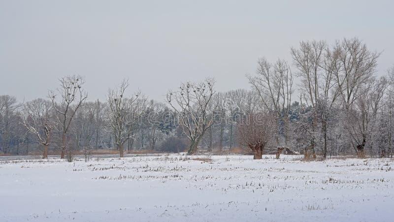 Τοπίο έλους που καλύπτεται στο χιόνι με τα νεκρά δέντρα με τις φωλιές κορμοράνων στοκ φωτογραφία