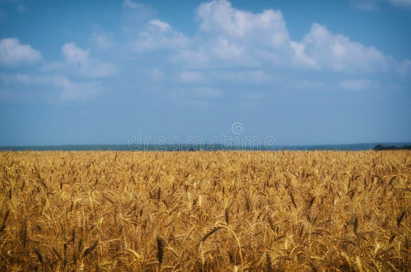 Τοπίο γεωργίας Συγκομιδή σίτου, και νεφελώδης ουρανός στοκ εικόνα με δικαίωμα ελεύθερης χρήσης