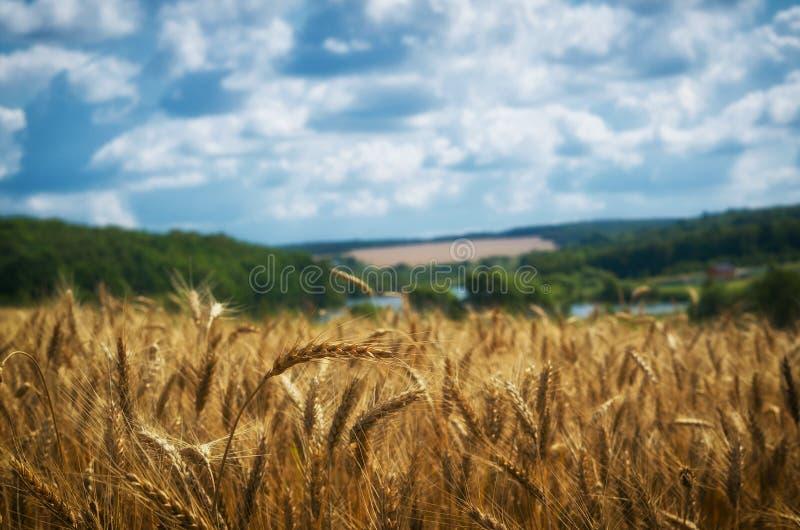 Τοπίο γεωργίας Συγκομιδή σίτου, και νεφελώδης ουρανός στοκ εικόνες με δικαίωμα ελεύθερης χρήσης