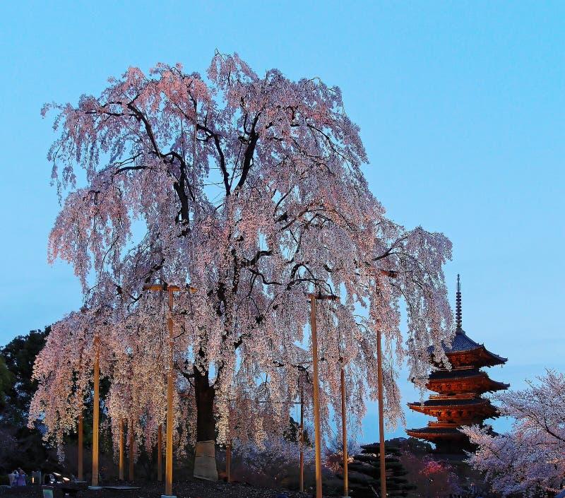 Τοπίο ενός γιγαντιαίου δέντρου Sakura ανθών κερασιών & της διάσημης παγόδας πέντε-ιστορίας του ναού Toji στο Κιότο, Kansai, Ιαπων στοκ φωτογραφία με δικαίωμα ελεύθερης χρήσης