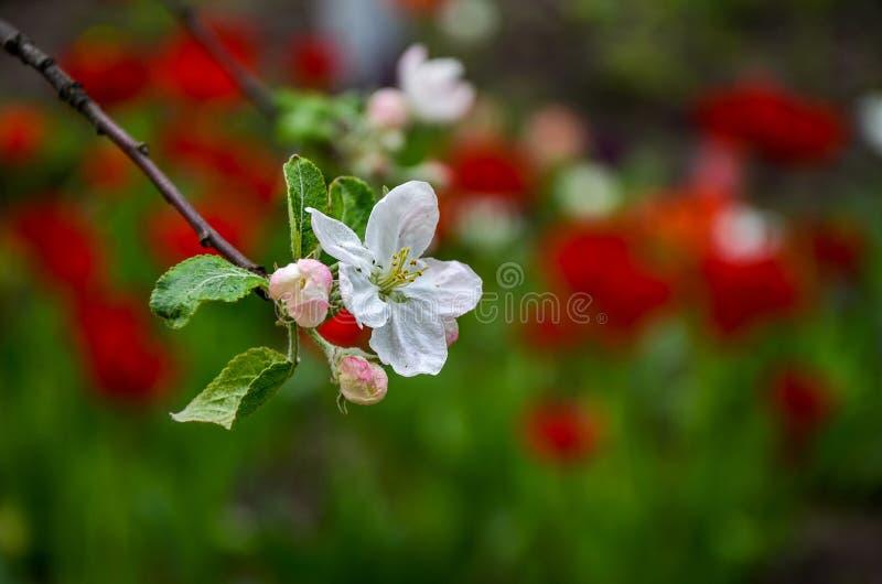 Τοπίο με ένα ανθίζοντας αχλάδι άνοιξη στον κήπο στοκ εικόνες