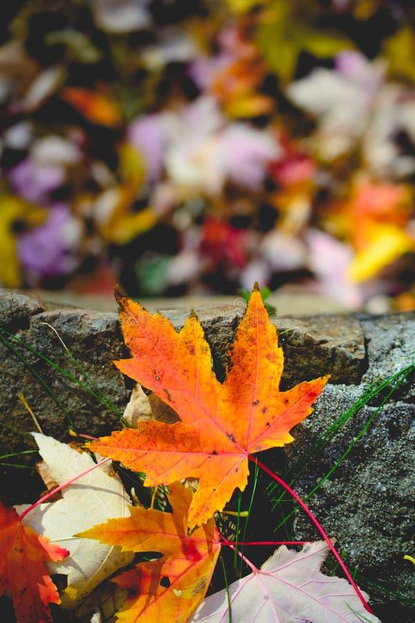 Τοπίο με τα φύλλα φθινοπώρου Αναδρομικό φίλτρο ύφους, φύλλα σφενδάμου στοκ εικόνα με δικαίωμα ελεύθερης χρήσης