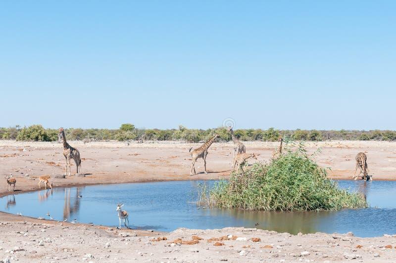 Τοπίο με της Ναμίμπια giraffes, impalas, αντιδορκάδα και burchel στοκ εικόνες