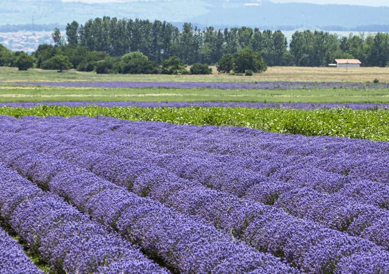 Τοπίο με τους ανθίζοντας lavender τομείς στοκ εικόνα με δικαίωμα ελεύθερης χρήσης