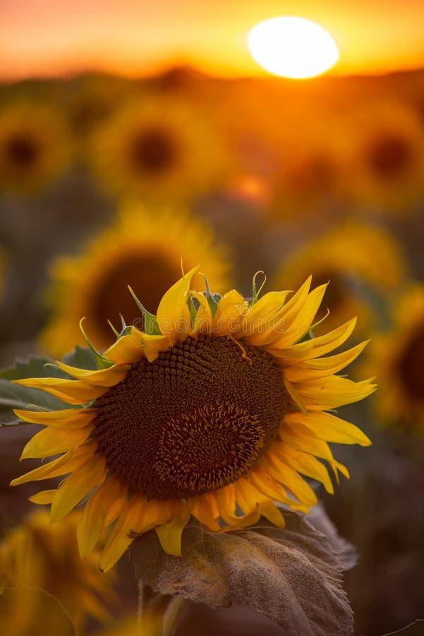 Τοπίο τομέων ηλίανθων με τον ήλιο στο χρόνο ηλιοβασιλέματος στοκ εικόνα