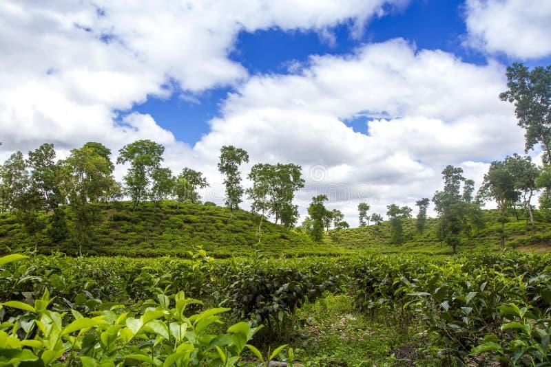 Τοπίο τομέων θερέτρου τσαγιού σε Moulovibazar, Μπανγκλαντές στοκ φωτογραφίες
