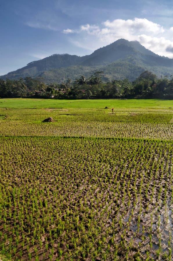 Τοπίο τομέων ρυζιού γεωργίας στοκ εικόνα με δικαίωμα ελεύθερης χρήσης