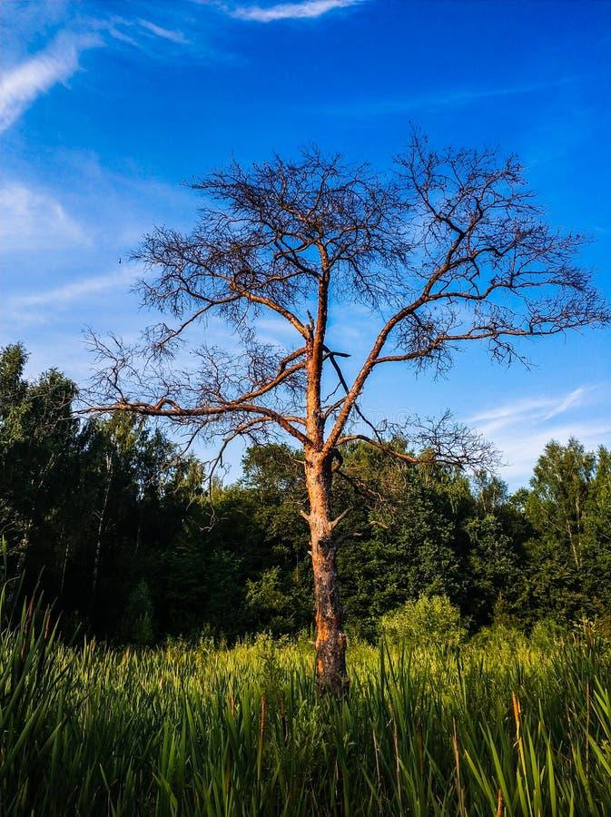 τοπίο τοπίων του μόνου δέντρου στάσεων στον τομέα χλόης στοκ φωτογραφίες
