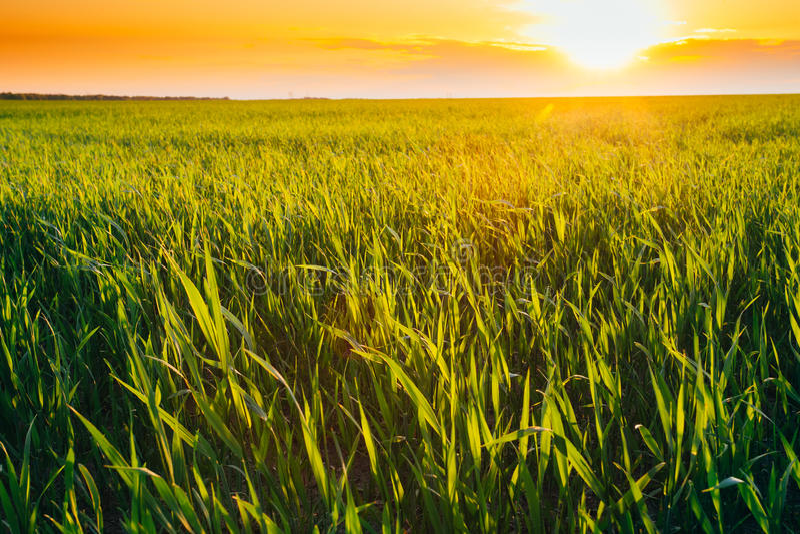 Τοπίο του πράσινου τομέα σίτου κάτω από το φυσικό θερινό δραματικό ουρανό στοκ εικόνες