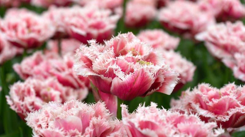 Τοπίο των ήπια ρόδινων τουλιπών στον κήπο στοκ φωτογραφίες με δικαίωμα ελεύθερης χρήσης