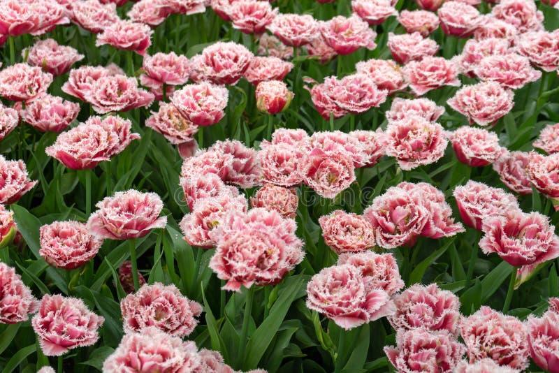 Τοπίο των ήπια ρόδινων τουλιπών στον κήπο στοκ φωτογραφία με δικαίωμα ελεύθερης χρήσης
