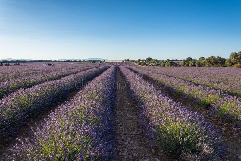 Τοπίο των σειρών lavender των φυτειών στο sunse στοκ φωτογραφία