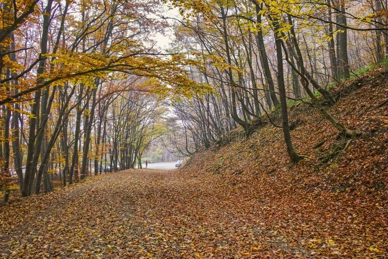 Τοπίο φθινοπώρου με τα κίτρινες δέντρα και την ομίχλη, Vitosha βουνό, Βουλγαρία στοκ εικόνα
