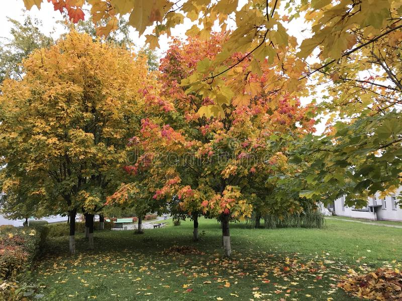 Τοπίο φθινοπώρου στο πάρκο πόλεων Δέντρα με τα φύλλα της κόκκινης και κίτρινης στάσης έξω στα πλαίσια της πράσινης χλόης με πεσμέ στοκ εικόνα με δικαίωμα ελεύθερης χρήσης