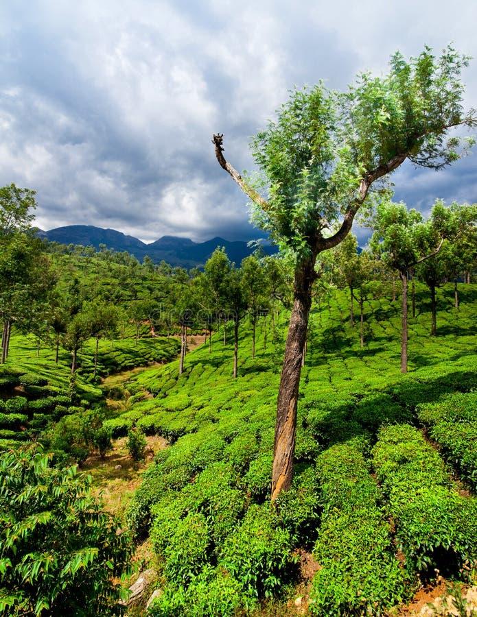 Τοπίο φυτειών τσαγιού. Munnar, Κεράλα, Ινδία στοκ εικόνα με δικαίωμα ελεύθερης χρήσης