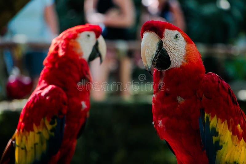 Τοποθέτηση δύο όμορφη macaws στοκ φωτογραφίες