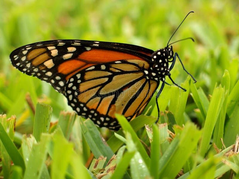 Τοποθέτηση πεταλούδων μοναρχών στη χλόη στοκ φωτογραφίες