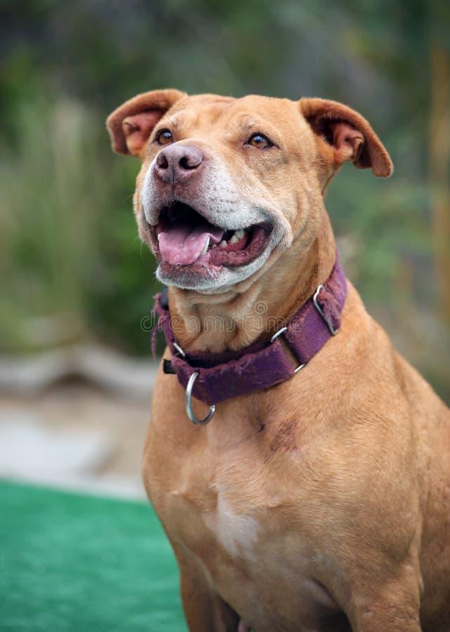 Τοποθέτηση χαμόγελου pitbull στοκ φωτογραφίες