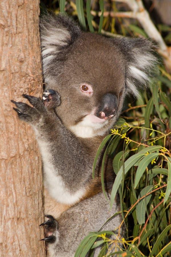τοποθέτηση koala στοκ φωτογραφία με δικαίωμα ελεύθερης χρήσης