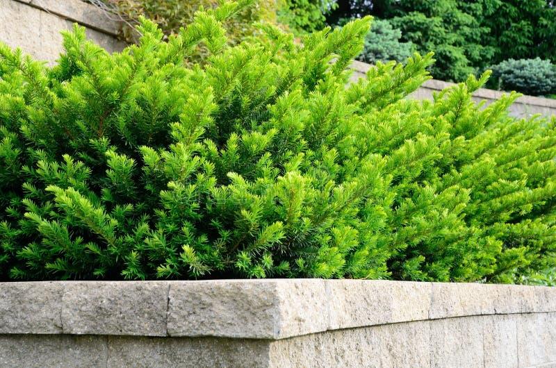Τοποθετημένος στη σειρά διατηρώντας τοίχος με τους θάμνους Yew στοκ εικόνες