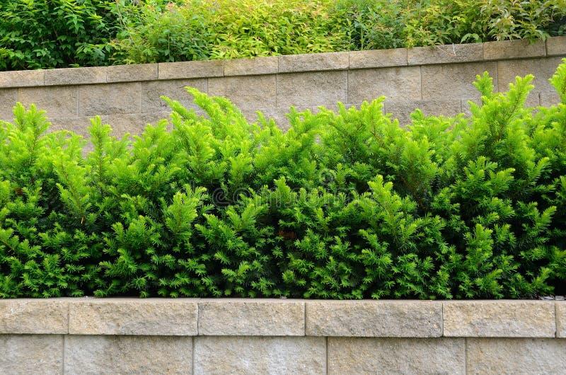 Τοποθετημένος στη σειρά διατηρώντας τοίχος με τους θάμνους Yew στοκ φωτογραφία με δικαίωμα ελεύθερης χρήσης