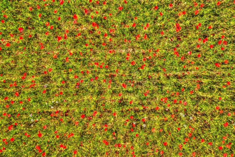Τοπ άποψη ενός τομέα παπαρουνών στοκ εικόνες