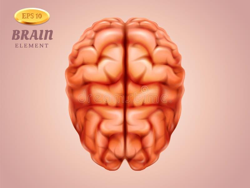 Τοπ άποψη σχετικά με τον εγκέφαλο Ανθρώπινο μυαλό Ιατρική, ανατομία απεικόνιση αποθεμάτων
