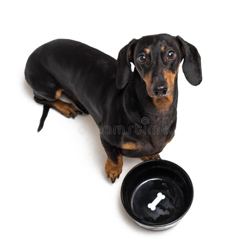 Τοπ άποψη σχετικά με το πεινασμένο σκυλί dachshund, το Μαύρο και το μαύρισμα, την αναμονή και τα βλέμματα επάνω να απομονώσει γεμ στοκ φωτογραφίες
