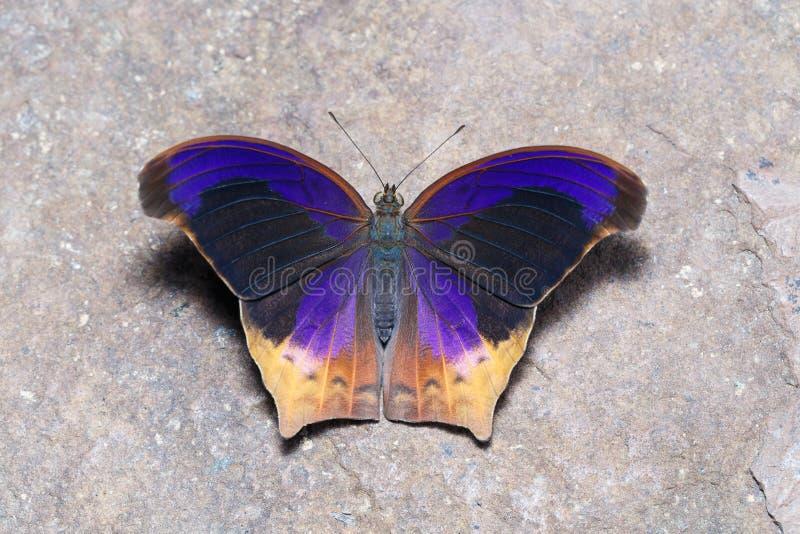 Τοπ άποψη της μεγάλης πεταλούδας Assyrian (atlita Terinos) στοκ εικόνες