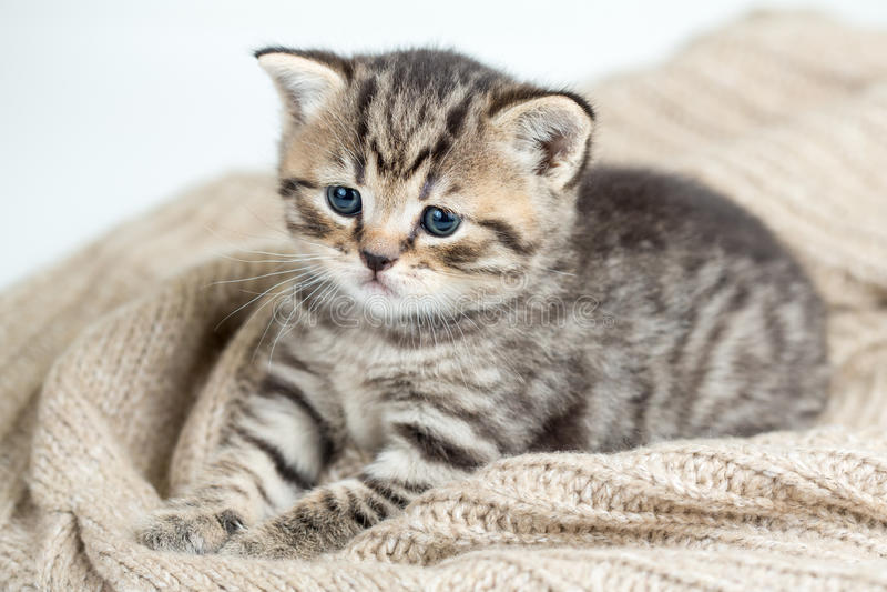 Τοπ άποψη του γατακιού γατών που βρίσκεται στο Τζέρσεϋ στοκ εικόνες