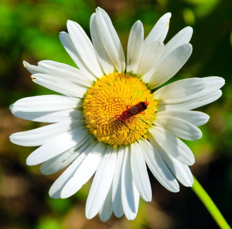 Τοπ άποψη του κόκκινου ζωύφιου στο λουλούδι μαργαριτών στοκ φωτογραφία με δικαίωμα ελεύθερης χρήσης