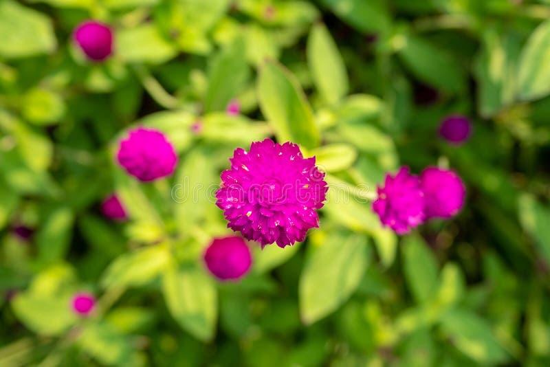 Τοπ άποψη του πορφυρού λουλουδιού αμάραντων σφαιρών στο θολωμένο πράσ στοκ εικόνες
