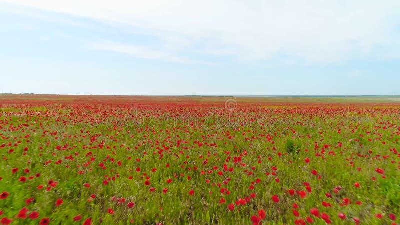 Τοπ άποψη του πράσινου τομέα με την κόκκινη παπαρούνα στο υπόβαθρο του ουρανού E Ο ελαφρύς αέρας ταλαντεύεται τους οφθαλμούς παπα στοκ εικόνες με δικαίωμα ελεύθερης χρήσης