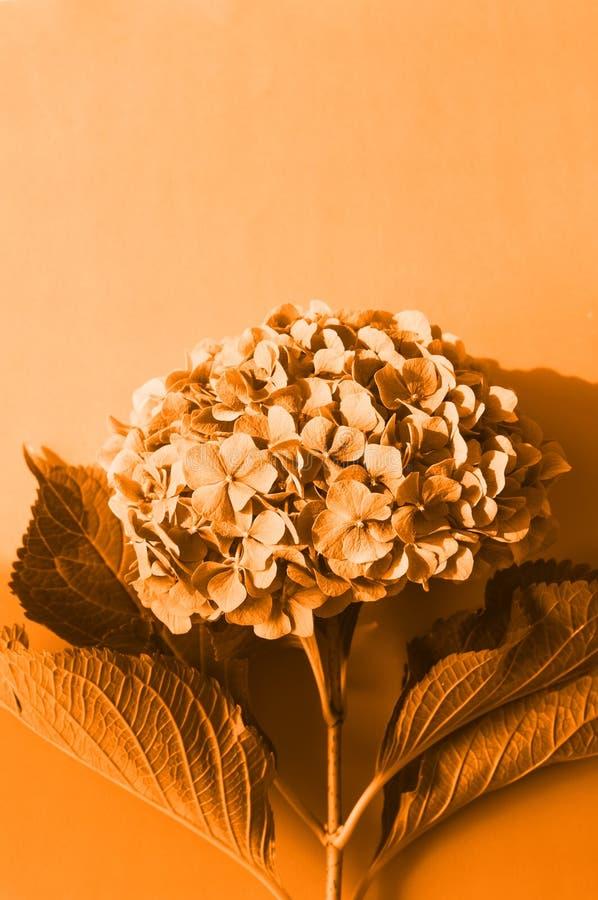 Τοπ άποψη του υποβάθρου Hydrangea, στοκ φωτογραφία με δικαίωμα ελεύθερης χρήσης