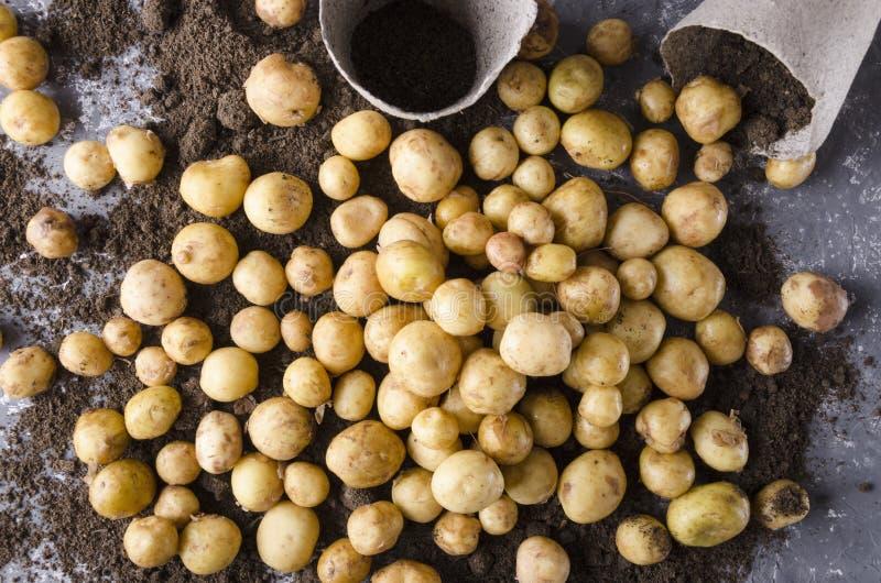 Τοπ άποψη των δοχείων τύρφης, μέρος των καινούριων πατατών στο χώμα Έννοια της μεγάλης συγκομιδής πατατών άνοιξη στοκ εικόνα