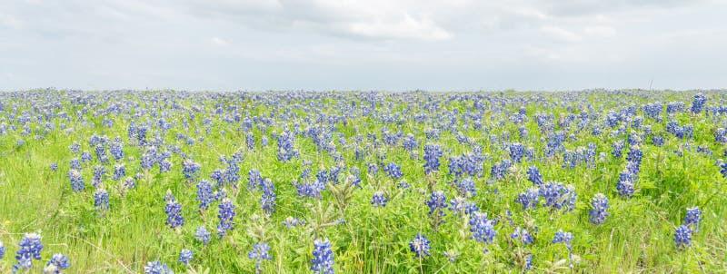 Τοπ κάλυμμα Bluebonnet άποψης κινηματογραφήσεων σε πρώτο πλάνο σε Ennis, Τέξας, ΗΠΑ στο spr στοκ φωτογραφία