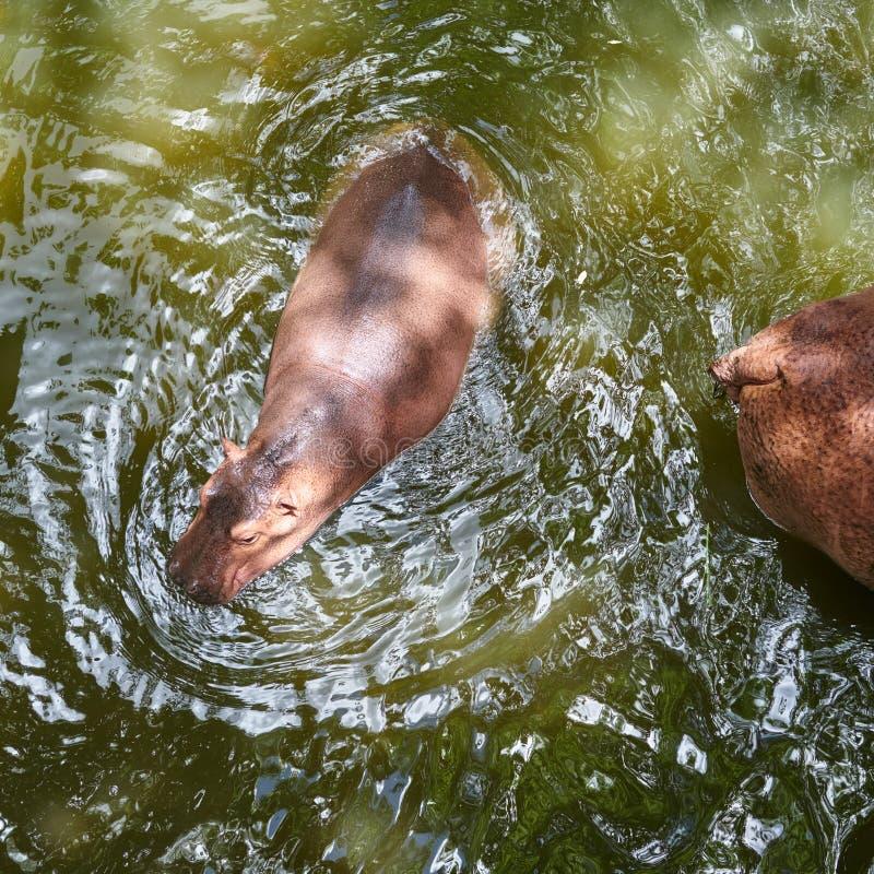 Τοπ όψη Μωρό Hippopotamus Hippopotamus Amphibius στα WI νερού στοκ φωτογραφία