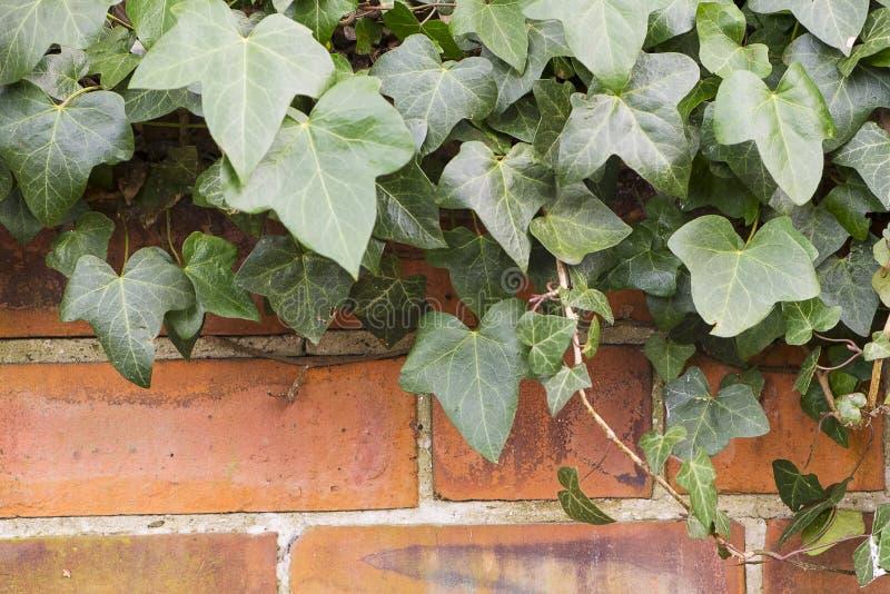 Τουβλότοιχος με τον πράσινο κισσό στοκ εικόνες