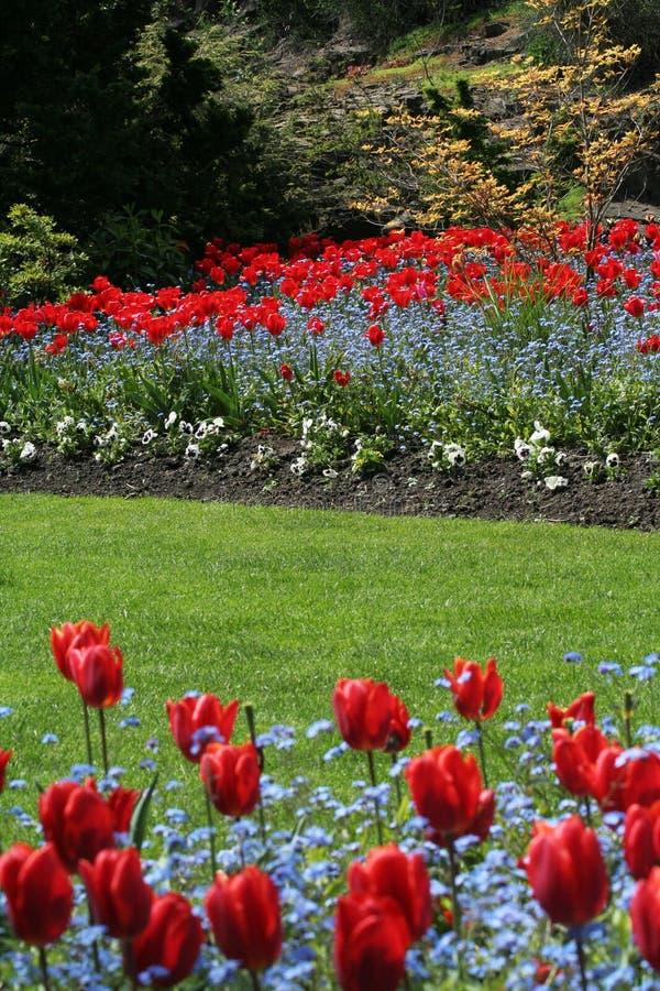 τουλίπα κήπων στοκ εικόνες