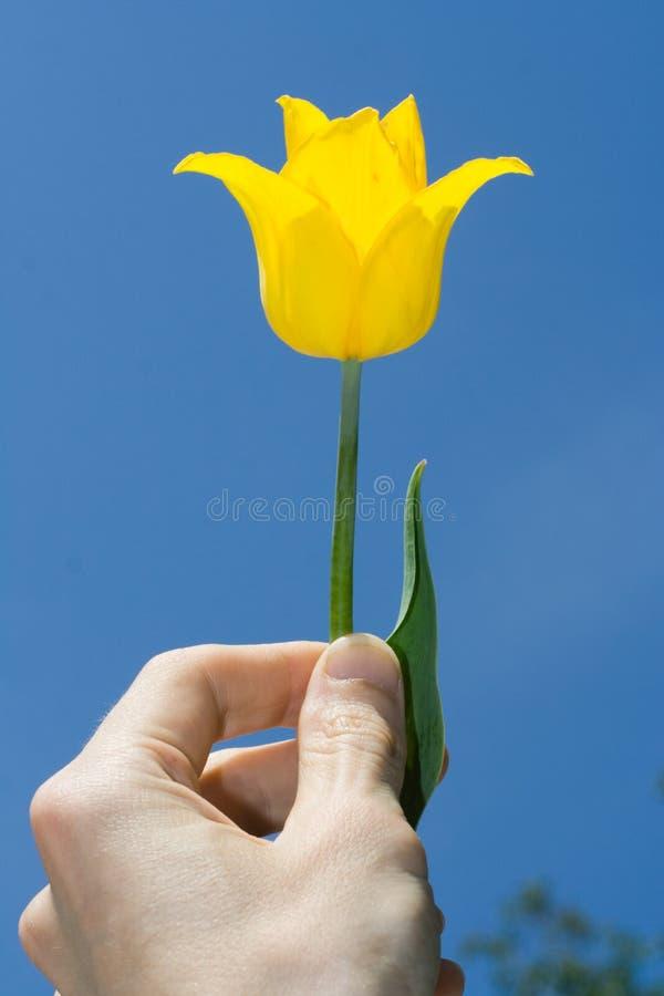 τουλίπα κίτρινη στοκ εικόνες με δικαίωμα ελεύθερης χρήσης