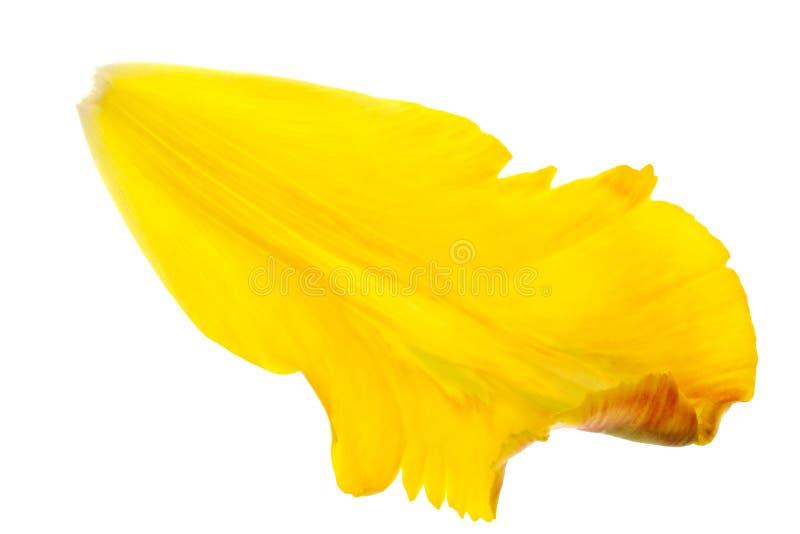 τουλίπα πετάλων κίτρινη στοκ φωτογραφία με δικαίωμα ελεύθερης χρήσης