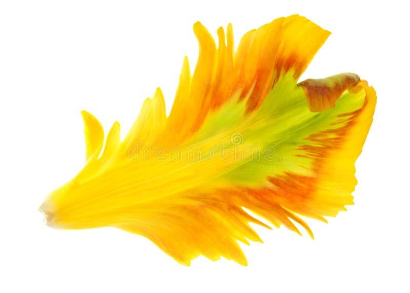 τουλίπα πετάλων κίτρινη στοκ εικόνες