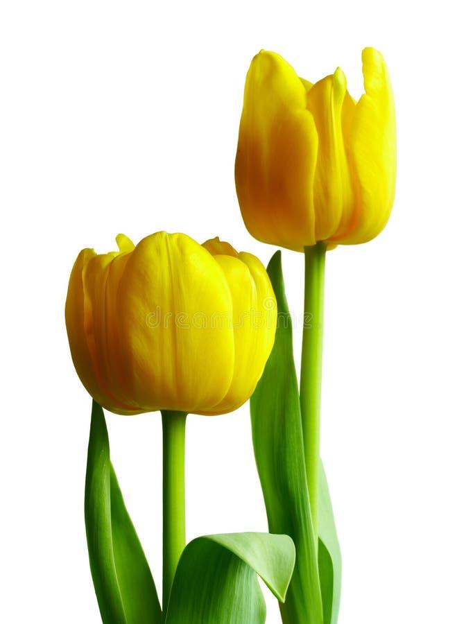τουλίπες δύο κίτρινες στοκ φωτογραφία με δικαίωμα ελεύθερης χρήσης