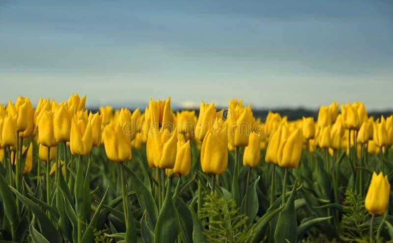 τουλίπες κίτρινες στοκ εικόνα