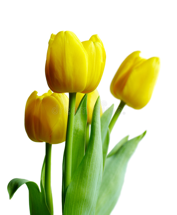 τουλίπες κίτρινες στοκ φωτογραφίες με δικαίωμα ελεύθερης χρήσης