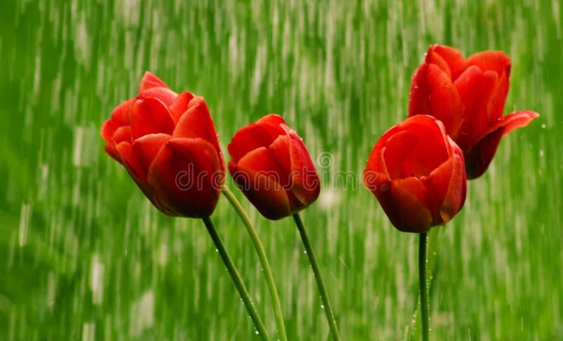 Τουλίπες λουλουδιών στη βροχή στοκ εικόνες