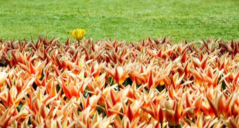 Τουλίπες πορτοκαλιών, κίτρινων και κόκκινων ελατηρίων που ακμάζουν με μια ενιαία άσπρη κίτρινη παραλλαγή τουλιπών στοκ φωτογραφία