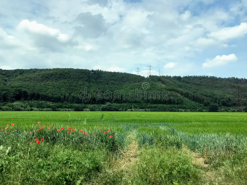 Τουλίπες σε έναν πράσινο τομέα στα βουνά στοκ εικόνες