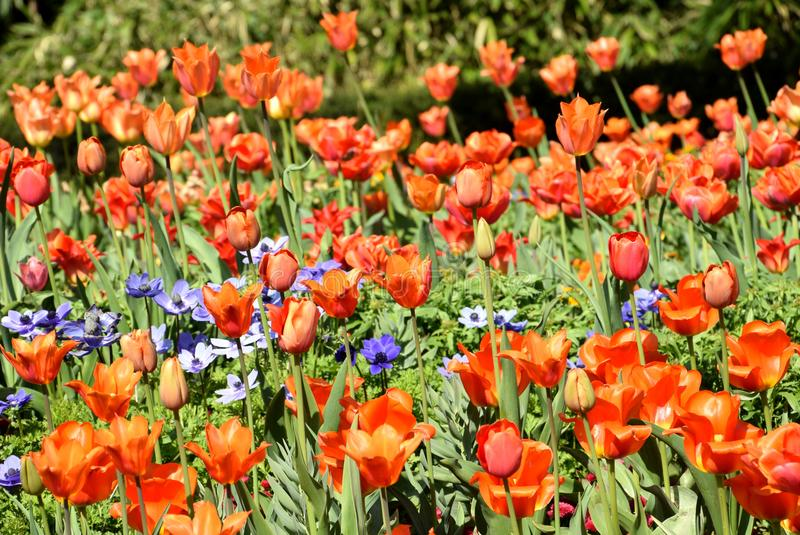 Τουλίπες στην άνθιση, ζωηρόχρωμες τουλίπες που ανθίζουν στον ηλιόλουστο κήπο στοκ φωτογραφία